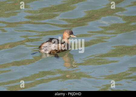 Little grebe, also known as the dabchick (Tachybaptus ruficollis) swimming and hunting in the river - Stock Photo