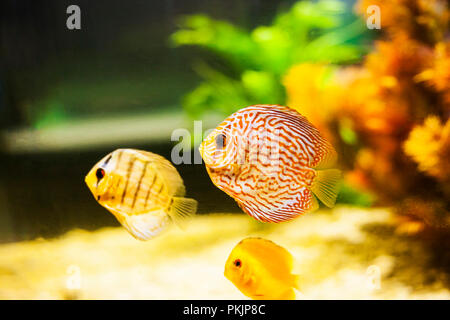 Pompadour small fish swimming in aquarium. Symphysodon discus - Stock Photo