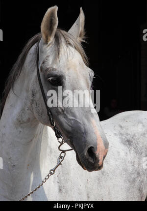 Portrait of a white andalusian PRE horse - Stock Photo