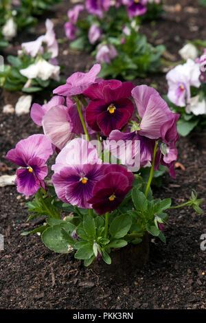 Sydney Australia, flowerbed with purple/pink pansy plants - Stock Photo