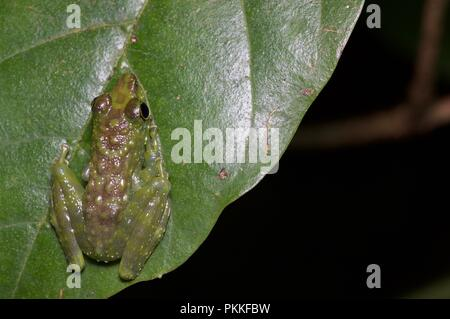 A Green-spotted Foot-flagging Frog (Staurois tuberilinguis) on a leaf at night in Kinabalu Park, Sabah, East Malaysia, Borneo - Stock Photo