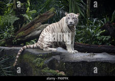 Majestic White Tiger - Stock Photo