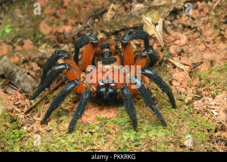 Magnificent Malayan Trapdoor Spider that is rarely seen in Malaysia. Highly sort after but the exotic pet trade. - Stock Photo