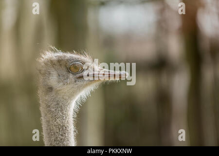 Beautiful photo of the head of a single emu on a blurred background - Stock Photo