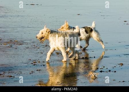 Dogs on the beach , Playa del Medano , Tenerife , Canary Islands , Spain . - Stock Photo