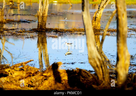 Beautiful white bird looking for food in lake - Stock Photo