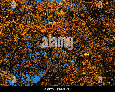 A leaf canopy in Autumn from the European horse-chestnut, or Aesculus hippocastanum, from the Sapindaceae family. Some conkers remain hanging. - Stock Photo