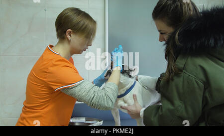Veterinarian drip the medicine into the dog's eyes. Veterinarian ophthalmologist doing medical procedure, examining the eyes of a dog in a veterinary clinic. Healthy dog under medical exam. - Stock Photo
