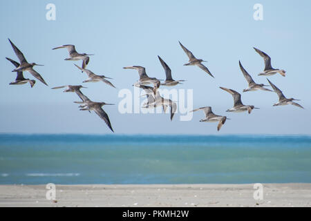 Flock of Bar Tailed Godwits (Limosa lapponica) flying from a beach in Canterbury New Zealand - Stock Photo