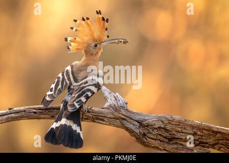 Hoopoe (Upupa epops), adult bird in sunset with grasshopper as prey, Biosphere Reserve Mittelelbe, Saxony-Anhalt, Germany - Stock Photo