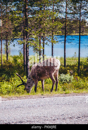 Reindeer eating at the side of the road in northern Finland on a sunny day - Stock Photo
