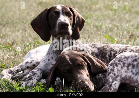 german shorthaired pointer, german kurtshaar two spotted little brown puppy, dogs lie on the grass in the autumn in the sun, one animal sleeps, - Stock Photo