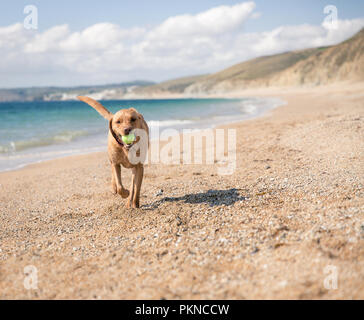 A happy, yellow Labrador retriever dog running on a deserted sandy beach and carrying or fetching a tennis ball in its mouth - Stock Photo