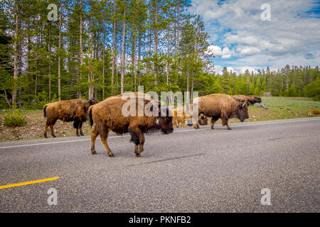 American bison family cross a road in Grand Teton National Park, Wyoming - Stock Photo