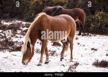 New Forest Ponies in the snow March 2018 - Stock Photo