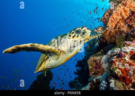 Hawksbill Sea Turtle, Eretmochelys imbricata, Brother Islands, Red Sea, Egypt - Stock Photo