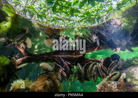 Mussels growing on Mangrove Roots, Bivalvia, Cancun, Yucatan, Mexico - Stock Photo