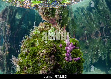 Sponges growing on Mangrove Roots, Porifera, Cancun, Yucatan, Mexico - Stock Photo