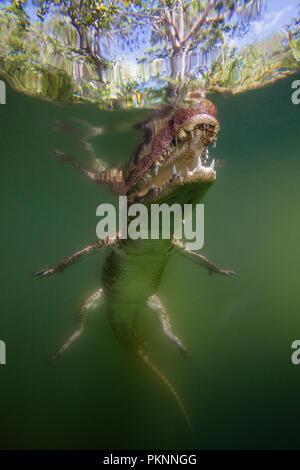 Morelet's Crocodile, Crocodylus moreletii, Cancun, Yucatan, Mexico - Stock Photo