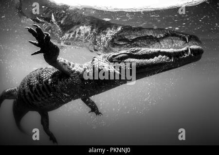 Morelet's Crocodile, Crocodylus moreletii, Cancun, Yucatan, Mexico - Stock Photo