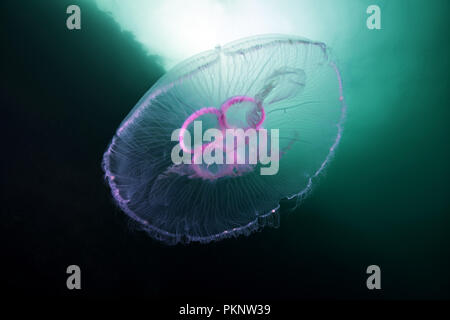 Moon jellyfish, Common jellyfish, Moon jelly, or Saucer jelly (Aurelia aurita)