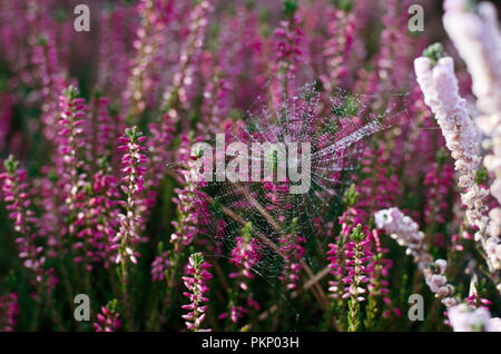 Beautiful sunny nature background with spider web on a lilac heather flowers. Morning dew on wild heather meadow. - Stock Photo