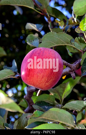 Shiny and ripe red apple with streaked peel hanging on branch, surrounded by green leaves, close-up view - Stock Photo