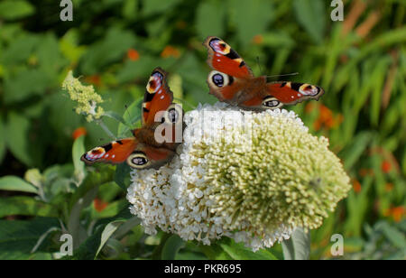 Two peacock butterflies landed on white buddleia flower - butterfly sitting together, feeding on flowers - Stock Photo