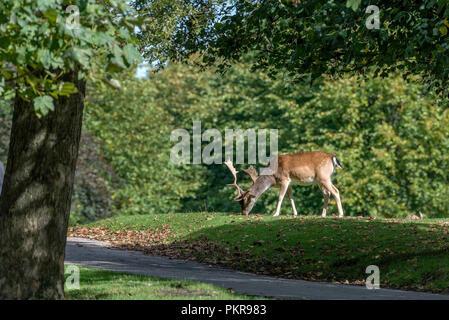 Fallow deer. - Stock Photo