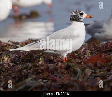 Meditrerranean Gull(immature) - Stock Photo