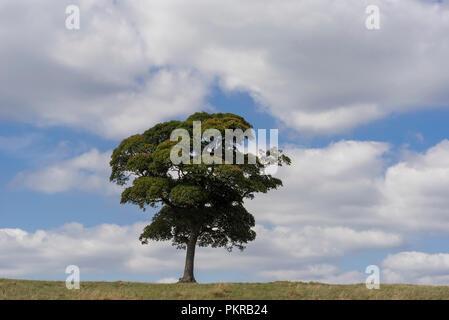 Lone solitary tree on skyline. Blue sky white clouds. - Stock Photo
