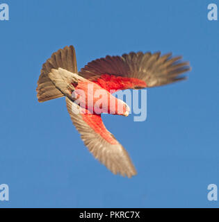 Pink and grey Australian Galah, Eolophus roseicapillus in flight against blue sky in outback Qld - Stock Photo