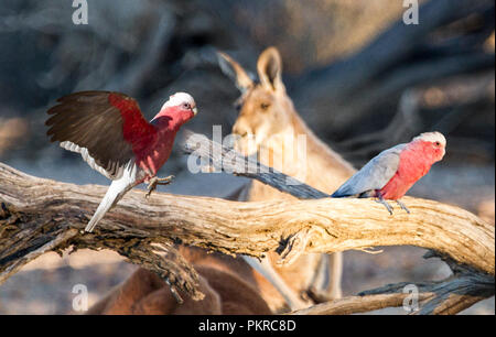 Pink and grey Australian, Galahs Eolophus roseicapillus, one in flight and one on log with red kangaroo in the background in outback Queensland - Stock Photo