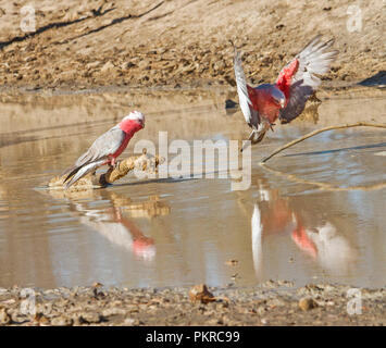 Pink and grey Australian Galahs Eolophus roseicapillus with one on log & another in flight both reflected in calm water of creek in outback Queensland - Stock Photo