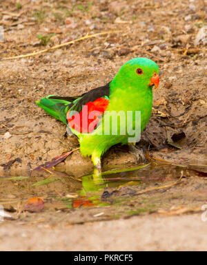 Spectacular red and green male Australian red-winged parrot Aprosmictus erythropterus beside and reflected in puddle of water in outback NSW - Stock Photo