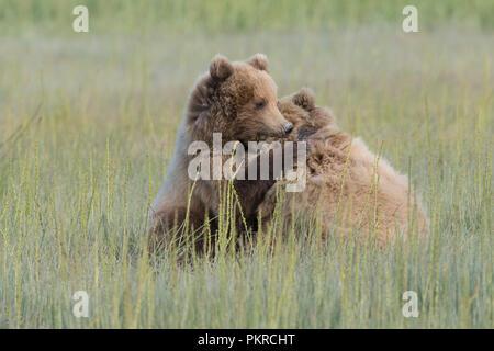 Alaskan coastal brown bear, Lake Clark National Park - Stock Photo