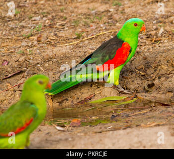 Pair of spectacular red and green Australian red-winged parrots Aprosmictus erythropterus beside puddle of water in outback NSW - Stock Photo