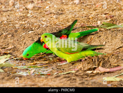 Pair of spectacular red and green Australian red-winged parrots Aprosmictus erythropterus drinking from puddle of water in outback NSW - Stock Photo