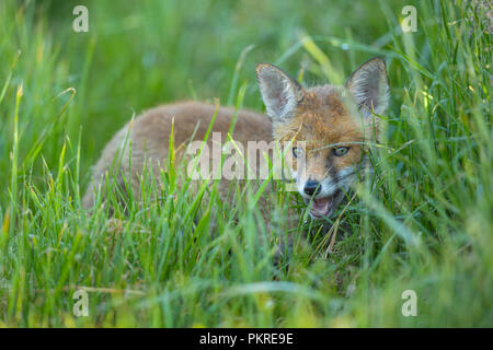 Red Fox, vulpes vulpes, Young Fox, Germany, Europe - Stock Photo