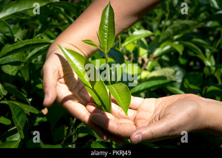 Hands holding fresh Young tea buds at tea hill in Thanh Son district, Phu Tho province, Vietnam - Stock Photo
