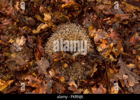 Hedgehog, native, wild, European hedgehog hibernating in Autumn leaves.  Scientific name: Erinaceus europaeus.  Landscape - Stock Photo