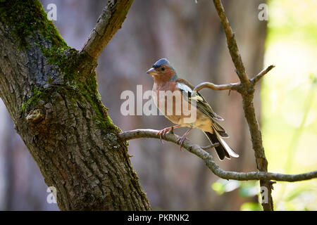 Common chaffinch singing on a branch (Fringilla coelebs) - Stock Photo