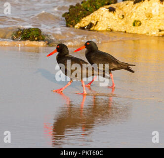 Pair of Sooty oystercatchers with red bills and legs walking side by side in synchronized poses on Australian beach and reflected in shallow water - Stock Photo