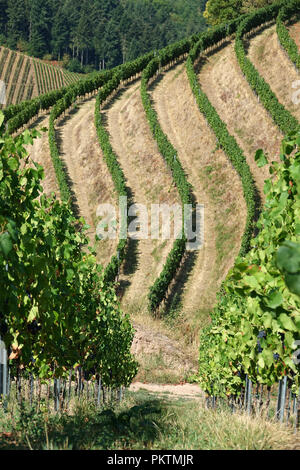 20 August 2018, Baden-Wuerttemberg, Durbach: 20 August 2018, Germany, Durbach: Terraced vineyards on a vineyard near Durbach, Baden. Baden is the southernmost and with around 15,906 hectares of vineyards and an average yield of 1.1 million hectolitres the third largest wine-growing region in Germany. Photo: Alexandra Schuler/dpa - Stock Photo