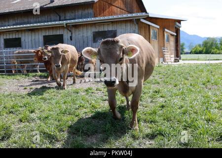 Europa Schweiz Sarganser Land Wangs Gonzen - Kühe grasen morgens auf der Weide an einem schönen Frühlingstag in der Schweiz - Stock Photo