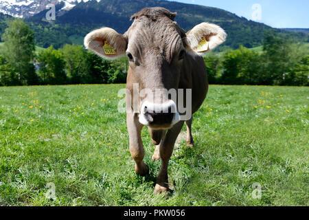 Europa Schweiz Sarganser Land Wangs Gonzen - neugieriges Muttertier morgens auf der Weide an einem schönen Frühlingstag in der Schweiz - Stock Photo