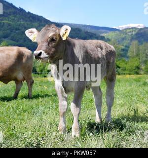 Europa Schweiz Sarganser Land Wangs Gonzen - Kalb steht morgens auf der Weide an einem schönen Frühlingstag in der Schweiz - Stock Photo
