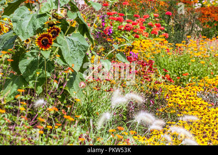 Colorful garden flowers, a summer flower bed in a cottage garden, Rudbeckia hirta Sonora, Chine Astra, Amaranth, Sunflowers, planting combination - Stock Photo