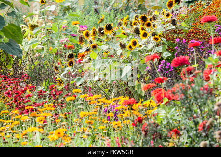 A color combination of a summer flower bed in a cottage garden, Sunflowers, sneezeweeds, Zinnias, - Stock Photo