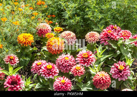 A colorful combination of a summer flower bed in a cottage garden, Zinnias Marigold - Stock Photo